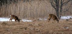 Cerfs, parc national des Îles-de-Boucherville, mars 2016 Parc National, Activities, Animals, Animales, Animaux, Animal, Animais
