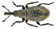 Family: Apionidae Size: 1,8 mm  Location: Tenerife, Arafo, 6 km North, 870 m leg. J.Schoenfeld, 9.IV.2004; det. Behne, 2005 Photo: U.Schmidt, 2014