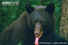 American black bear - look at that tongue Tom&Pat Leeson photo - Ursus americanus