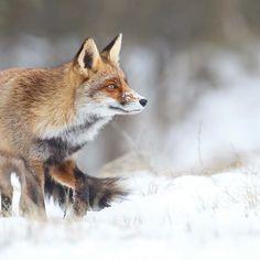 #rävjakt #foxhunting #vinter #jakt #värmland by vildmarken