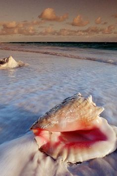 Conch shell on the beach ◉ re-pinned by http://www.waterfront-properties.com/jupiterrealestate.php