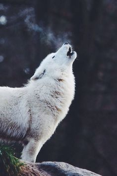 Lobo!!