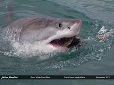 Great White Shark Dive   Flickr - Photo Sharing! Getting into close proximity with this Great White shark was an awe-inspiring experience