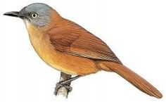 Ashy-headed Laughingthrush (Garrulax cinereifrons)