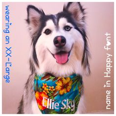 93cbe8ea8b77 She is wearing her new Personalized Aloha Dog Bandana in XXL🌺  #personalizeddogbandanas 🇺🇸FREE SHIPPING on US orders over $20  #hawaiiandogbandana ...
