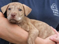 Meet Pebbles 22145, a Petfinder adoptable Labrador Retriever Dog | Prattville, AL | Pebbles is an 8-week-old female Lab/Shepherd mix. She is a most unusual looking little girl--her...