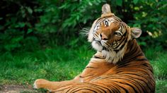 tiger screen backgrounds free