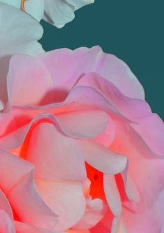 The fluorescent glow uplifts the soft feminine tones of this pale pink rose. Glow by Dom Sebastian
