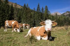 #Herd Of #Cows In The #Alps @123rf #123rf #nature #summer #animals #forest #mountains #woods #outdoor #austria #carinthia #stock #photo #download #portfolio #hires #royaltyfree