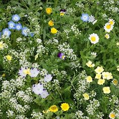 Alternative Lawn Wildflower Seed Mix    This mixture can be used as a flowering lawn or low growing ground cover. It is composed of fine fescue, flowers and clovers and provides a colorful and diverse alternative to grass lawns. This mixture contains 13 wildflowers, 6 annuals for first-year col