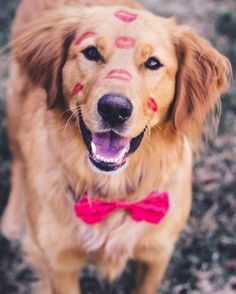 Golden Retrievers are one of the most honest dog breeds you'll ever encounter. Chihuahua Dogs, Pet Dogs, Dog Cat, Doggies, Cute Puppies, Dogs And Puppies, Animals And Pets, Cute Animals, Cute Friends