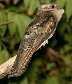 Potoos (family Nyctibiidae) are a group of near passerine birds related to the nightjars and frogmouths. They are sometimes called poor-me-ones, after their haunting calls. There are seven species in one genus, Nyctibius, in tropical Central and South America.