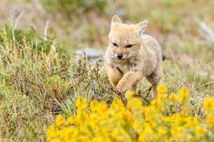 Fox, Torres del Paine , Patagonia, Chile