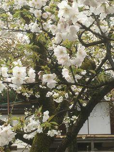 さくら 平野神社 「寝覚め」