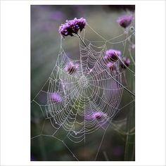 GAP Photos - Garden & Plant Picture Library - Cobweb on Verbena bonariensis - GAP Photos - Specialising in horticultural photography