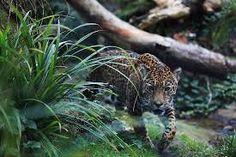 Panthera onca brazil - Pesquisa Google