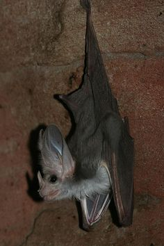 ghost bat. a little creepier than most small bats.  Is it real--???
