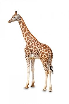 Giraffe Standing Isolated Free Stock Photo - Public Domain P Wild Animals Pictures, Cute Animal Pictures, Safari Animals, Cute Baby Animals, Animal Cutouts, Cat Activity, Animal Sketches, African Animals, Free Stock Photos