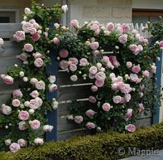 Pierre de ronsard.....might be my favourite rose ever. Big call, I love my roses!
