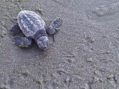baby turtles at Isle of Palms, S.C.I have seen lots of these running out to the water on an early morning walk on the beach
