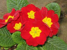 Primula Red Yellow