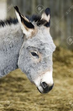A-lovely-grey-donkey-in-a-farmyard