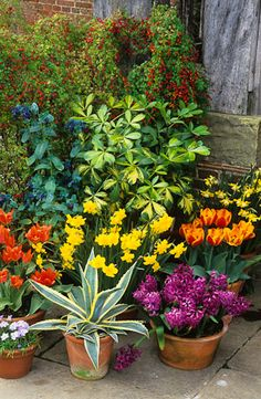 60425 - 11 Arrangement of terracotta pots in front of the porch at Great Dixter. Agave americana 'Marginata', Cerinthe major 'Purpurascens', Pseudopnex lessonii 'Gold Splash', hyacinths, tulips and narcissi Flower Pots, Potted Flowers, Potted Plants, Pansies, Tulips, Landscape Design, Garden Design, Container Gardening, Gardening Books