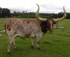 Real Deal Texas Longhorn & This One Is Front Pasture Pretty Longhorn Cattle, Longhorn Cow, Texas Longhorns, Oklahoma Sooners, Gado, Beef Cattle, Farm Animals, Wild Animals, Animal Tattoos
