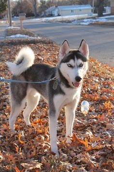 Echo - Pure Siberian Husky