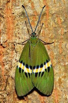 ✯ Day-Flying Moth (Eterusia repleta, Zygaenidae)
