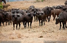 Herd of wildebeest @ Mikumi National Park in #Tanzania. For a #Mikumi travel guide visit www.safaribookings.com/mikumi. With best time to visit, maps, reviews and photos.