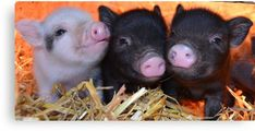 Mini pigs for sale Micro Pigs For Sale, Micro Mini Pig, Baby Pigs, Pet Pigs, Guinea Pigs, Baby Animals, Cute Animals, Animal Babies, Funny Animals