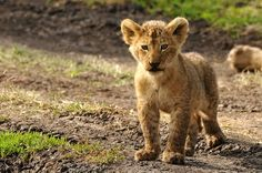 [I just arrived], by Darioca www.safaricrewtanzania.com #lioncubs   #sweetmoments      #Tanzania   #ngorongorocrater  #africanature   #wildlife   #Africa   #cuteanimals   #bigcat   #wildlife   #travel   #caturdayeveryday   #lions   #leoni   #cuccioli   #animalovers      #nature    #natgeo   #natgeowild  #Viaggiatori