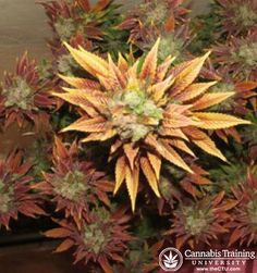 Another colorful strain of marijuana plant. | theCTU.com