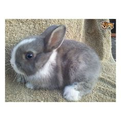 Ready Now Netherland Dwarf Baby Bunny ❤ liked on Polyvore featuring animals, pets and backgrounds