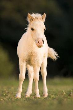 ☀'Miniature Horse - Christiane Slawik' by Christiane Slawik on artflakes.com as poster or art print