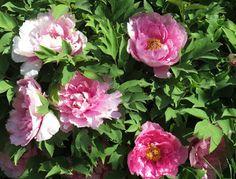 -neuer Gartentraum- Paeonia suffruticosa