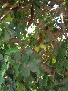 How to grow carob trees
