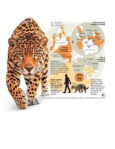 Corredores biológicos para proteger 5 felinos en Antioquia