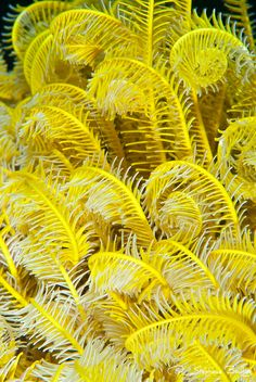 Yellow and White Feather Star - Crinoid