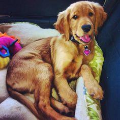 Sophieeee! #goldenretrievers #puppies