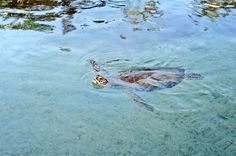 Green Turtle at Atlantis
