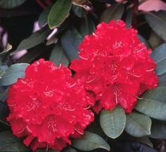 Rhododendron 'Skookum' 1 flower