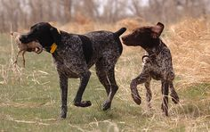 German Shorthair Pointers. Bred to be both a family companion and a versatile hunter. Perfect dog. Easy going at home and all business in the field, forest or water. Ours is solid hersheys chocolate colored. Loves people and cats.