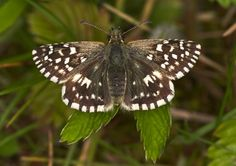 Grizzled Skipper (upperwing)