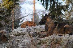 Dans la vraie vie, Rox et Rouky vivent en Norvège | Buzzly