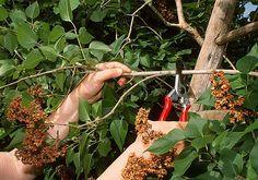 Des arbustes les plus jeunes aux plants les plus âgés, de la coupe des rameaux à la taille des branches, toutes les étapes à suivre pour réussir la taille du...