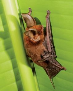 """✯ Madagascar Sucker-Footed Bat .. Myzopoda aurita .. A rare bat—one of only six species known to roosts upright — clings to slick leaves by secreting a """"modified sweat"""" into pads on its wrists and ankles, a new study says.✯"""