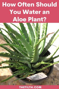 How Often Should You Water an Aloe Plant? Types Of Succulents, Succulent Care, Aloe, Water, Plants, Gripe Water, Plant, Planets, Aloe Vera