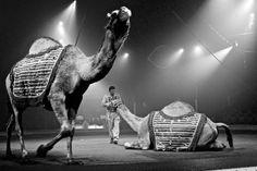Camel Parade by Sofia Castellanos ©